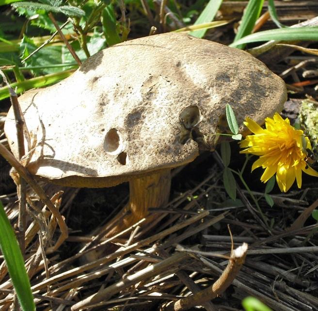 brown mushroom and dandelion