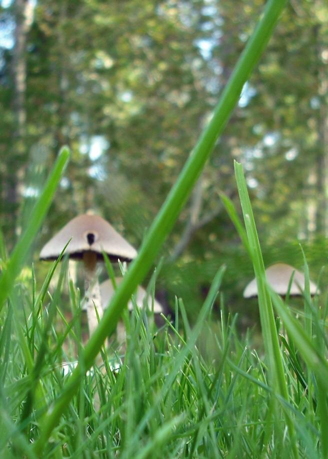 pointed brown mushrooms
