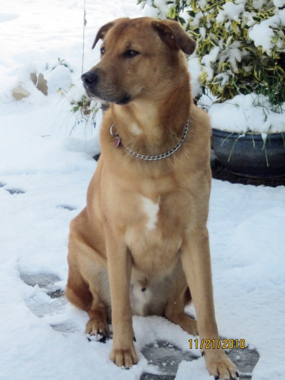 Chochi, our rescue dog, sitting in the snow