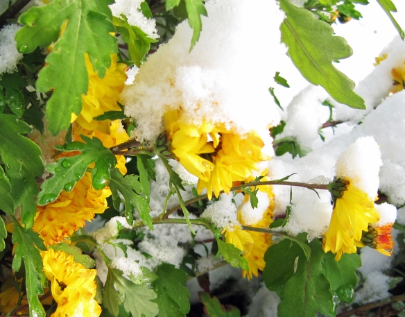 Fresh snow fall on the last of our mums