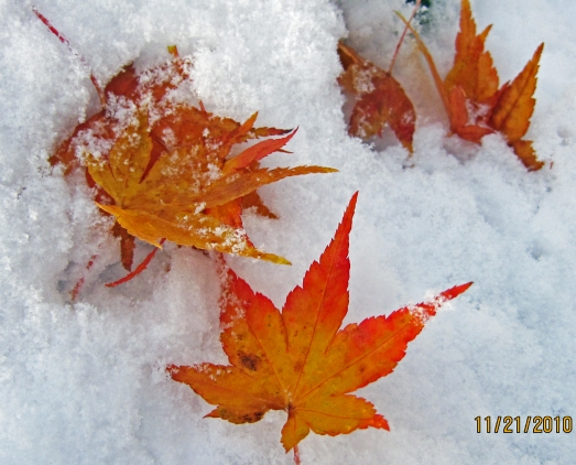 Three red and Orange leaves in the Snow