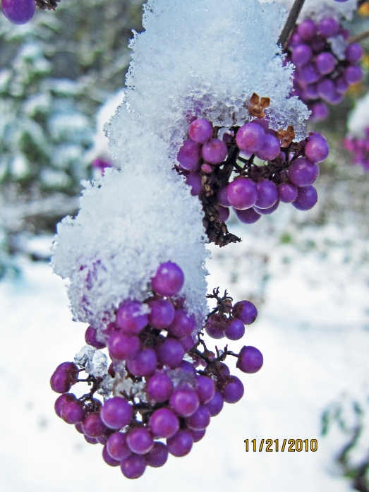 Fresh Snow Fall on Lavender Beauty Berries