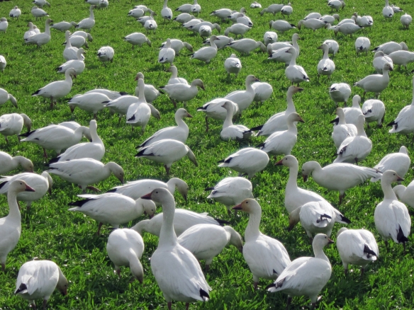 White snow geese near La Conner, WA