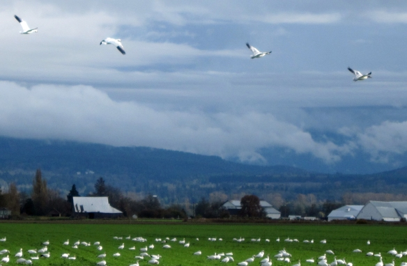 Four flying snow geese near La Conner, WA