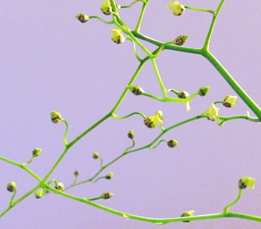 yellow buds on an orchid branch