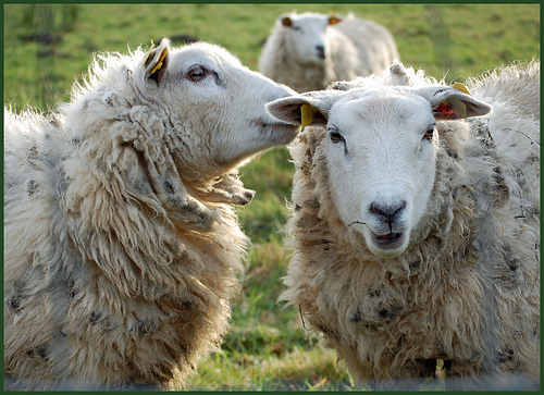 two wooly sheep