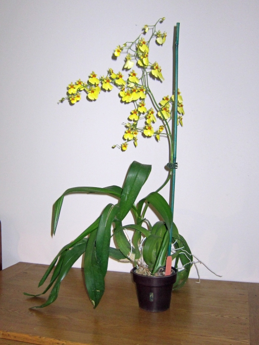 Ocidium orchid with yellow flowers