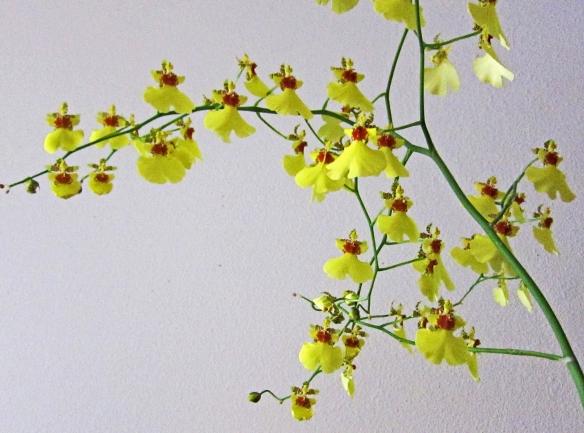 a spray of yellow ocidium in bloom