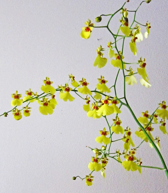 several branches of ocidium with yellow blooms