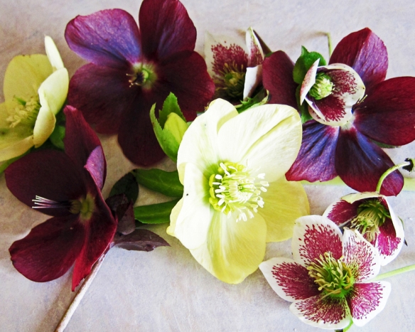 Cut Helleborus on kitchen counter