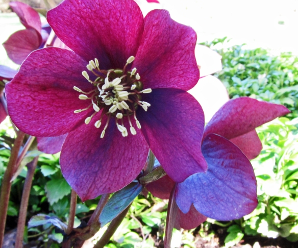 Helleborus blooming in our garden