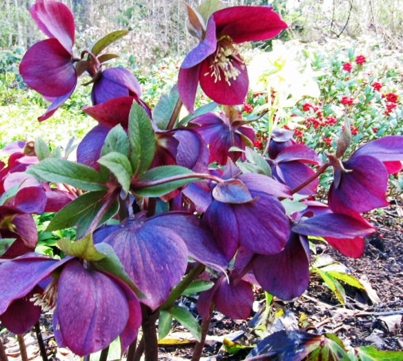 purple Helleborus in garden