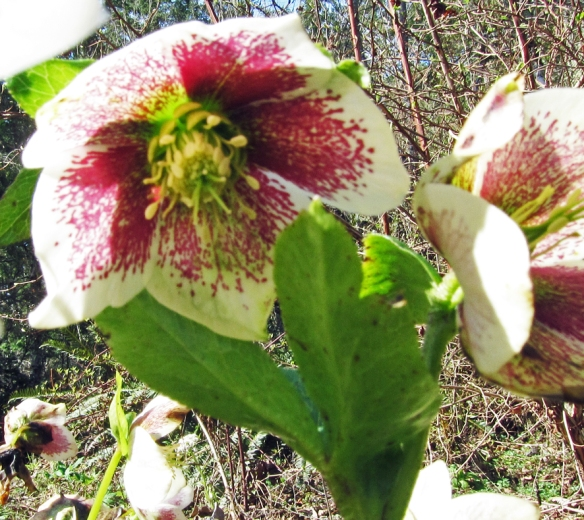 White and purple helleborus