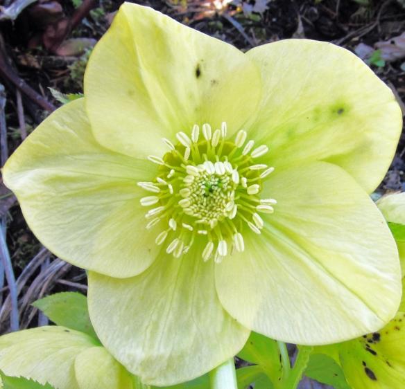5 petal yellow Helleborus