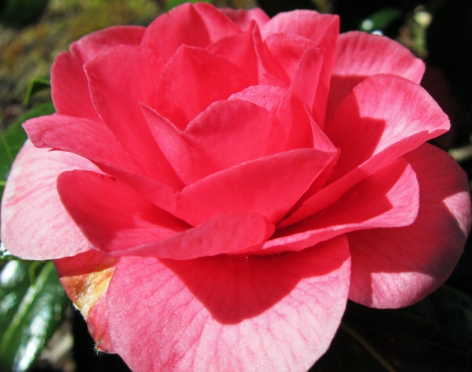 Close up photo of a camillia blossom