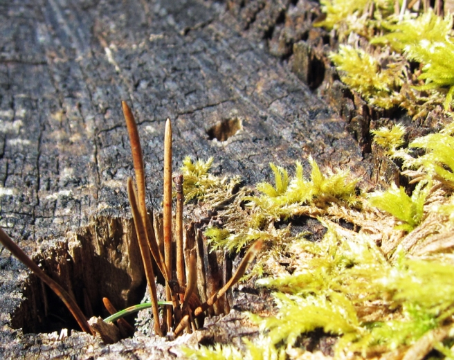 fern stems poking up out of a stump, with moss nearby.