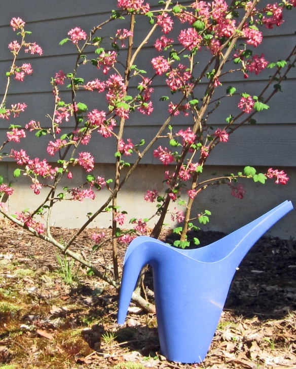Pink current blossoms with a blue watering can.