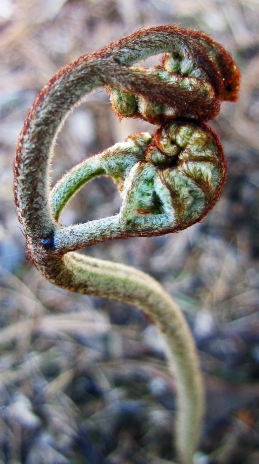 curled tips of a fern