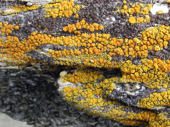 beach log with yellow lichen