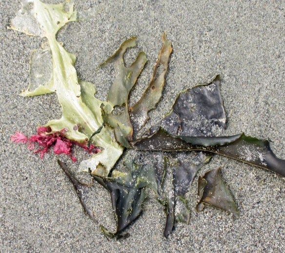 four types of kelp