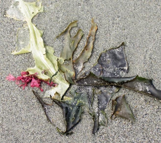 four types of kelp
