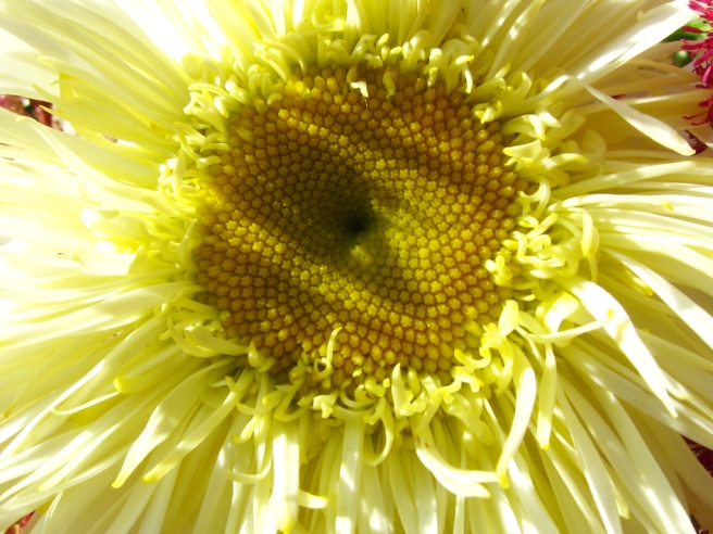 close up of fancy daisy