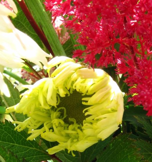 unfurling Shasta daisy
