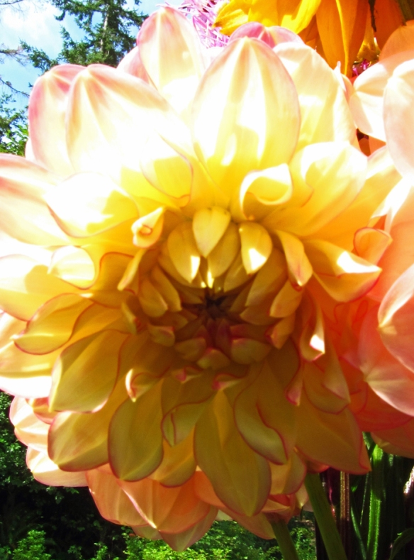 yellow dahlia edged in pink