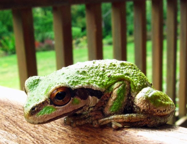 green frog with a black stripe