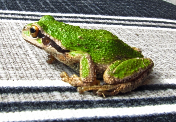 green frog with black stripe