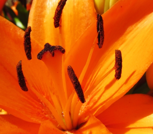 Center of an orange lily