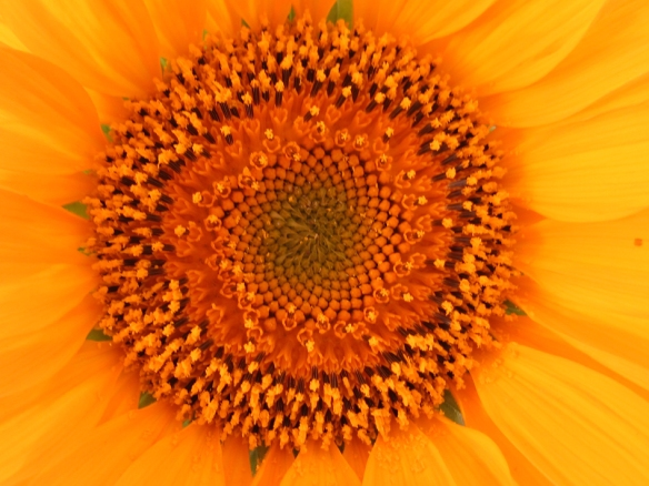 Close up of center of sunflower, showing the spiral pattern of the stamens.