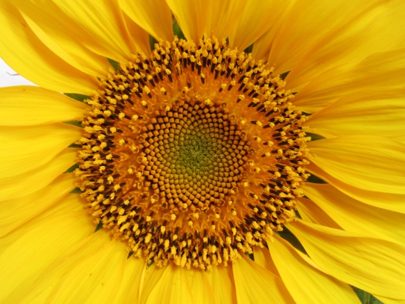 marcro shot of sunflower