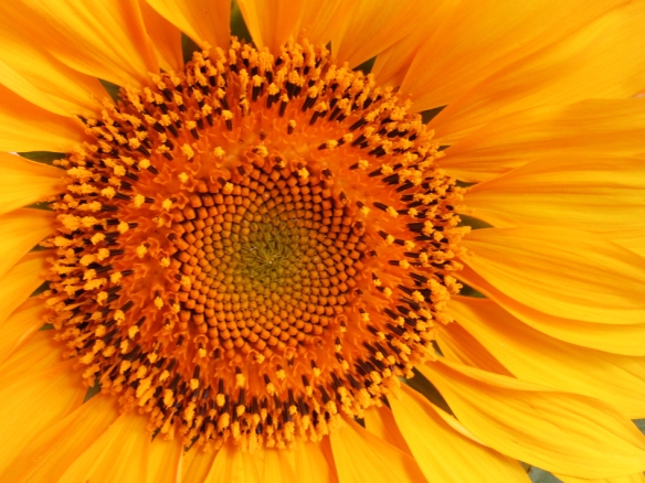 macro shot of sunflower center
