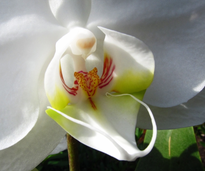 Close up view of center of a white orchid