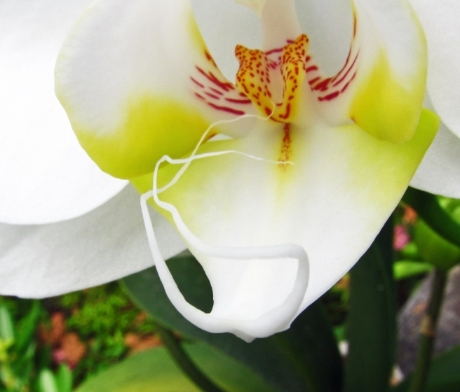 close up of orchid, showing white tendrils