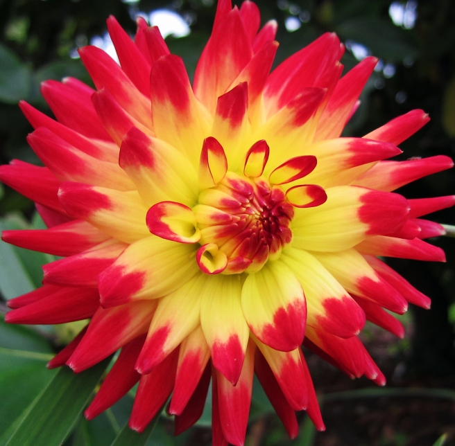Red and yellow Dahlia close up photo