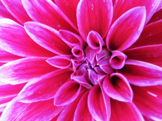 Pink Dahlia macro photo