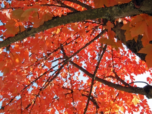 looking up at red autumn leaves on a tree