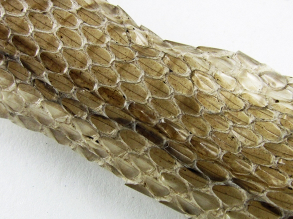 close up of scales on a snake skin.