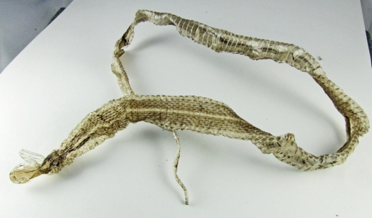 Molted snake skin:  the entire snake