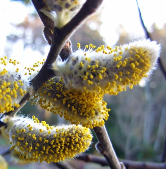 4 pussy willows with pollen