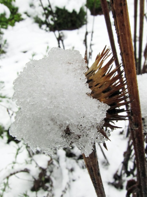 snow on a spent flower head