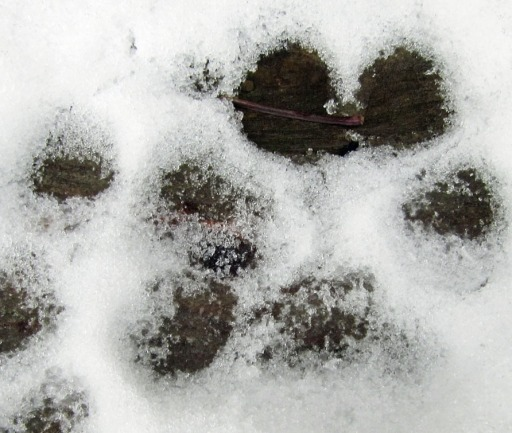 dog paw prints in the snow