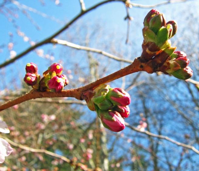cherry tree buds