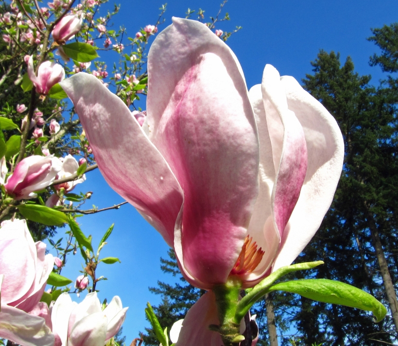Tulip Tree in bloom