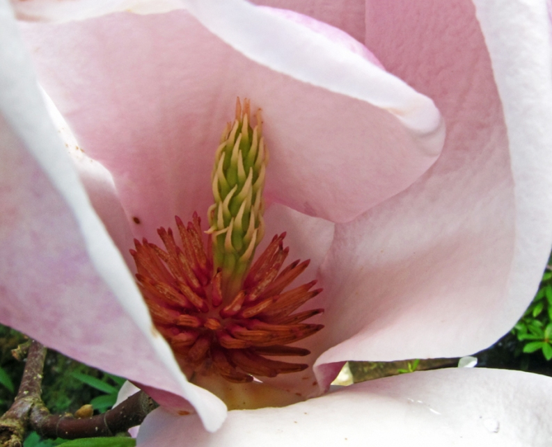 Inside of Tulip Tree Blossom