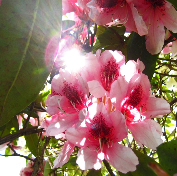 pink flowers with sunlight