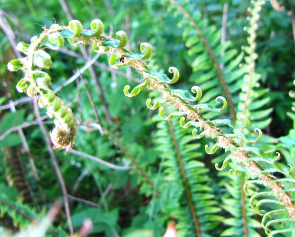 ferns in the Pacific NW
