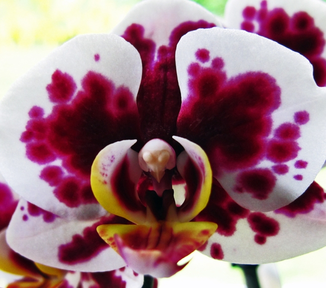 violet and white moth orchid